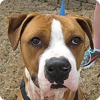 American Bulldog Mix Dog for adoption in Atlanta, Georgia - Jack Rogue