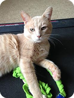 Domestic Shorthair Cat for adoption in Frankfort, Illinois - Westin