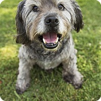 Adopt A Pet :: Bobby Elvis Doesn't Shed! - Los Angeles, CA