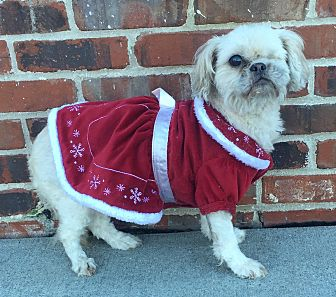 Shih Tzu/Pekingese Mix Dog for adoption in Summerville, South Carolina - Cocoa