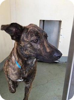 Dutch Shepherd Mix Dog for adoption in Belle Chasse, Louisiana - Chief