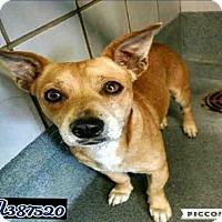 Adopt A Pet :: RUSTY - San Antonio, TX