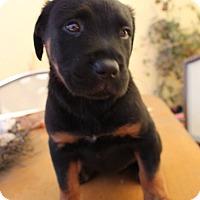 Adopt A Pet :: Nessa - Thousand Oaks, CA