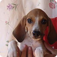 Adopt A Pet :: Amelia - Oviedo, FL