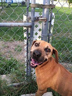 Rhodesian Ridgeback Mix Dog for adoption in Lake Placid, Florida - Falcon