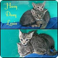 Domestic Shorthair Kitten for adoption in California City, California - Huey, Duey & Louie