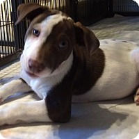 Labrador Retriever/American Staffordshire Terrier Mix Dog for adoption in Von Ormy, Texas - Panda Bear