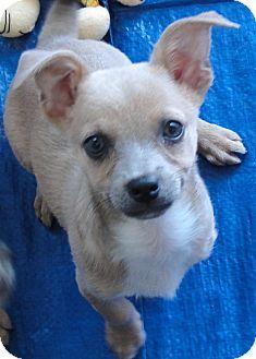 Basenji/Dachshund Mix Puppy for adoption in Buena Park, California - Daisy