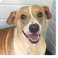Adopt A Pet :: Lance - Springdale, AR