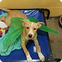 Adopt A Pet :: Lexxie - in Ct - Manchester, CT