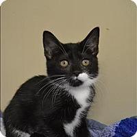 Domestic Shorthair Kitten for adoption in Delaware, Ohio - Temi