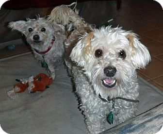 Poodle (Miniature)/Westie, West Highland White Terrier Mix Dog for adoption in Peralta, New Mexico - **BARNEY