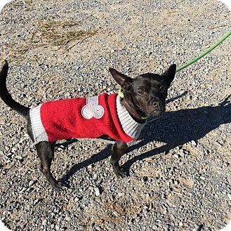Chihuahua Mix Dog for adoption in Unionville, Pennsylvania - Jett