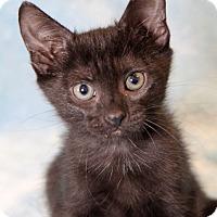 Adopt A Pet :: Zia - Encinitas, CA