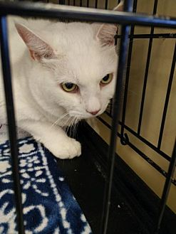 Domestic Shorthair Cat for adoption in Avon, Ohio - Snowball