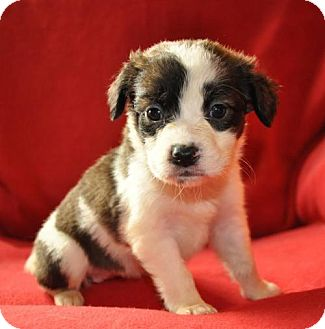 Boxer Mix Puppy for adoption in Edina, Minnesota - Snow Angel D161933:NO LONGER ACCEPTING APPLICATION