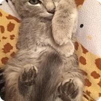 Domestic Shorthair Kitten for adoption in Albuquerque, New Mexico - Morgana