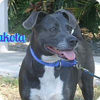 Adopt A Pet :: Dakota - Sarasota, FL