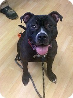 American Staffordshire Terrier Mix Dog for adoption in Manchester, Connecticut - Gia in CT