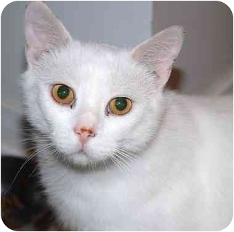 Domestic Shorthair Cat for adoption in Markham, Ontario - Quentin