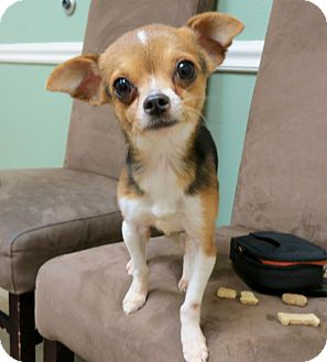 Chihuahua/Beagle Mix Dog for adoption in AUSTIN, Texas - NUGGET