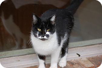 Domestic Shorthair Cat for adoption in Bentonville, Arkansas - Roady