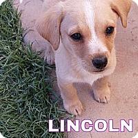 Adopt A Pet :: Lincoln - Phoenix, AZ