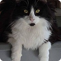 Maine Coon Cat for adoption in Encino, California - KURT