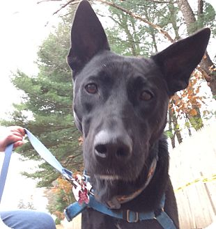 Labrador Retriever/German Shepherd Dog Mix Dog for adoption in Swanzey, New Hampshire - Sonrisa
