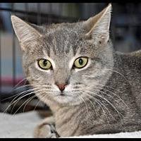 Domestic Shorthair Cat for adoption in Alamogordo, New Mexico - MOONTAIL