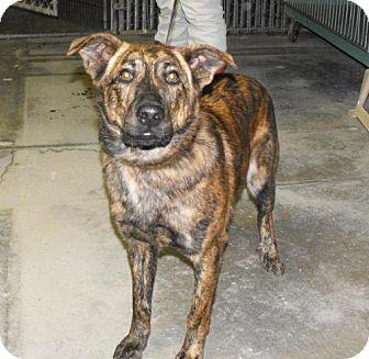 Australian Shepherd Mix Dog for adoption in Napoleon, Ohio - Tulley