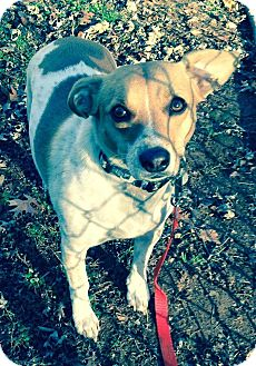 Jack Russell Terrier Mix Dog for adoption in Bridgewater, New Jersey - Memphis
