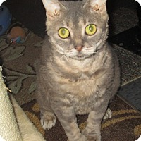 Adopt A Pet :: Polly (pure Bengal/Pixie-bob) - Witter, AR