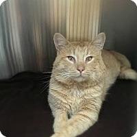 Adopt A Pet :: Midas ~ FIV + - Parma, OH