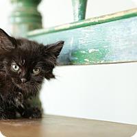 Adopt A Pet :: Crowly - San Antonio, TX