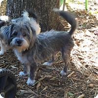 Adopt A Pet :: SAWYER - hollywood, FL