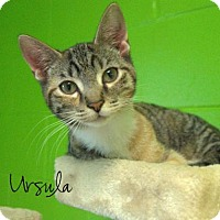 Domestic Shorthair Kitten for adoption in Middleburg, Florida - Ursula