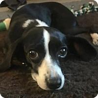Adopt A Pet :: Fancy - Catharpin, VA