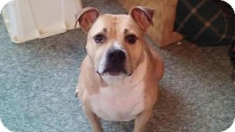 American Staffordshire Terrier Mix Dog for adoption in Westminster, Maryland - Kingston