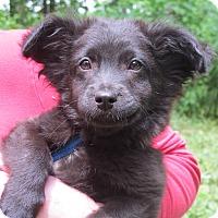 Adopt A Pet :: Mowgli - Allentown, PA