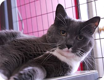 Domestic Shorthair Cat for adoption in Winchendon, Massachusetts - Smokey