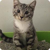 Adopt A Pet :: kitten #2 - Pompton lakes, NJ