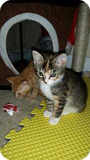 Domestic Shorthair Kitten for adoption in Dawson, Georgia - Maddie