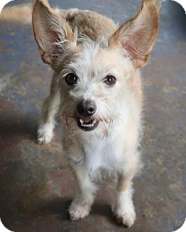 Standard Schnauzer/Jack Russell Terrier Mix Dog for adoption in Saratoga, New York - Fuzzy
