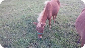Miniature Mix for adoption in Loudon, Tennessee - Hazelnut