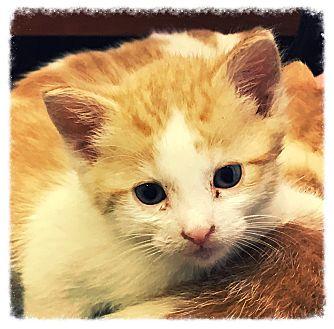 Domestic Shorthair Kitten for adoption in Los Alamitos, California - Freddie 2