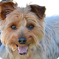 Yorkie, Yorkshire Terrier Dog for adoption in Colorado Springs, Colorado - Fortune