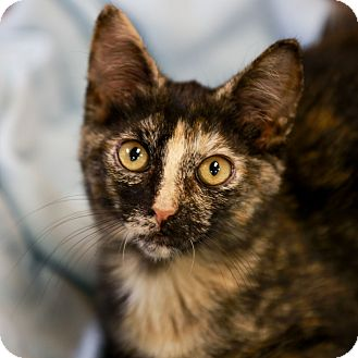 Domestic Shorthair Kitten for adoption in Kettering, Ohio - Honeycrisp