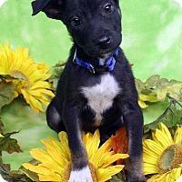 Adopt A Pet :: OLIVER - Westminster, CO