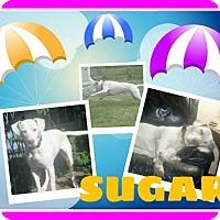 Adopt A Pet :: SugarA - Fort Collins, CO